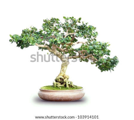 A small bonsai tree is isolated on a white background. Use it for a garden or nature concept. - stock photo