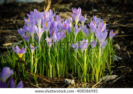 a small bouquet of crocus bloomed in the garden  - stock photo