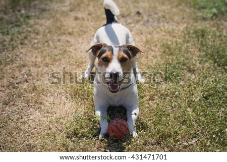 a small breed dog Jack Russell Terrier plays with a bright ball on the grass - stock photo