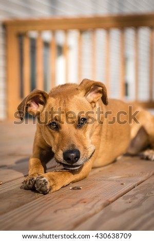A small brown dog sits outside on a deck and enjoys a stick.