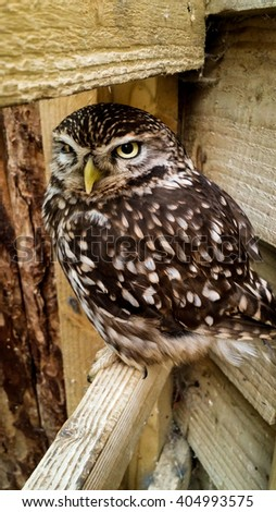 A small brown owl sitting on a wooden beam looking angry. - stock photo