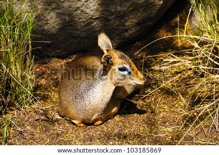 A small cavendish's dik dik resting in the shade - stock photo