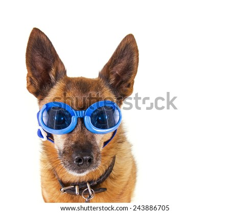 a small chihuahua mix with goggles on isolated on a white background - stock photo