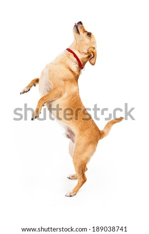 A small Chihuahua mixed breed dog standing on hind legs begging for treat with tongue out - stock photo