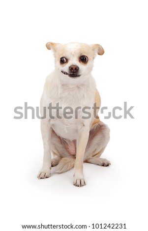A small Chihuahua mixed breed rescue dog sitting against a white backdrop with a funny look on his face - stock photo