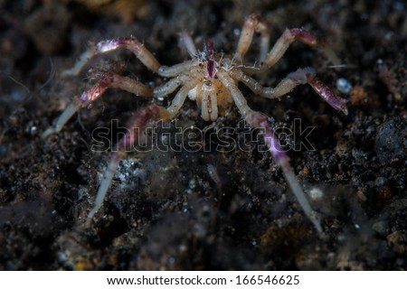A small, colorful sea spider, or pycnogonid, is a marine arthropod rarely seen due to their cryptic behavior. This individual is from a coral reef near Komodo, Indonesia.  - stock photo