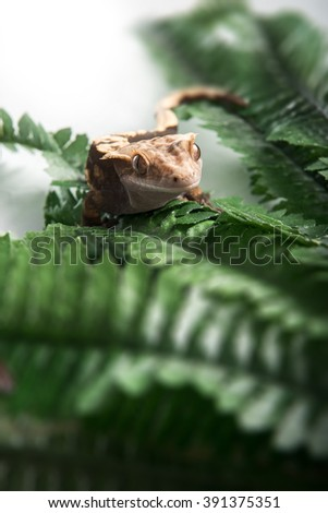 A small Crested  gecko is climbing a branch, shot on white