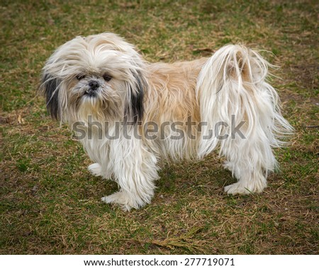 A small, cute, unkempt and scruffy Shih Tzu dog standing in full profile.