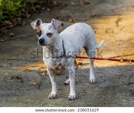 A small dog enjoys being outside in the evening sun. - stock photo