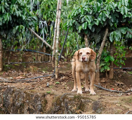 A small dog stands guard on a rock ledge protecting its owners coffee plantation in Costa Rica. - stock photo