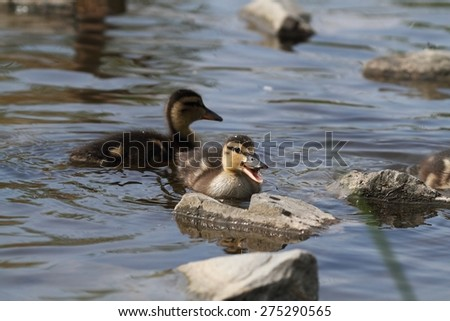 A small duckling swims on water. - stock photo