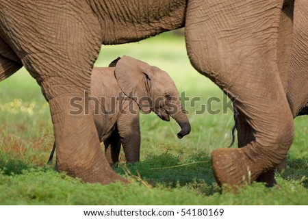 A small elephant calf walking behind its mother's feet in summer - stock photo