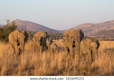 A small family group of African elephants walking in a row in soft golden light - stock photo