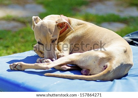 A small fawn - brown italian Greyhound dog lying down. Grey hounds are very thin and have a slender structure making them look very fragile. - stock photo