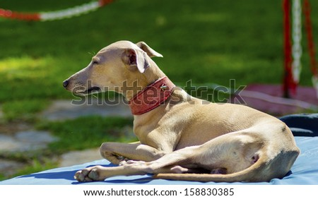 A small fawn - brown italian Greyhound dog lying down. Grey hounds are very thin and have a slender structure making them look very fragile.