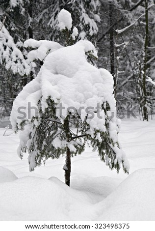 A small fir tree covered with snow  - stock photo