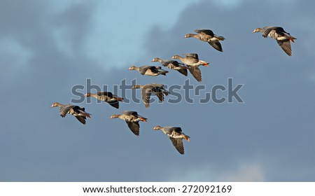 A small flock of greater white-fronted geese fly into the sunlight against a dark cloudy sky. - stock photo