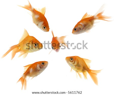 A small, frightened goldfish is surrounded by a mob of bigger goldfish. - stock photo