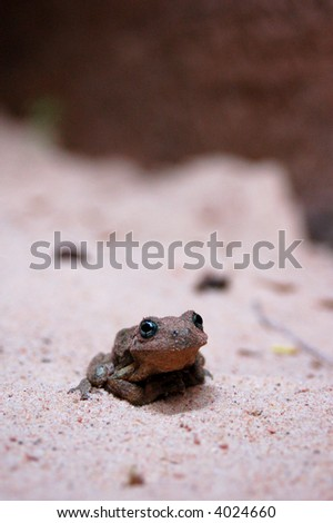 A small frog sitting on the desert sand.