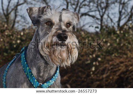 A small gray miniature schnauzer dog posting outdoors - stock photo