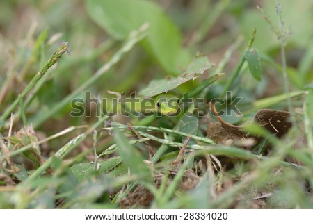 A small green snake crawling through grass and peeking under a leaf. - stock photo
