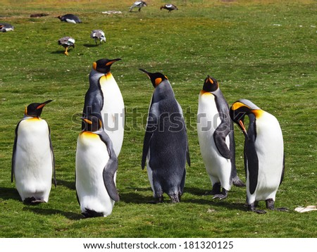 A small group of King Penguins at Volunteer Point in the Falkland Islands. - stock photo
