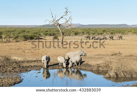 A small group of rhinoceros drinking at a watering hole as a herd of elephants runs past in the background. Kruger National Park. - stock photo
