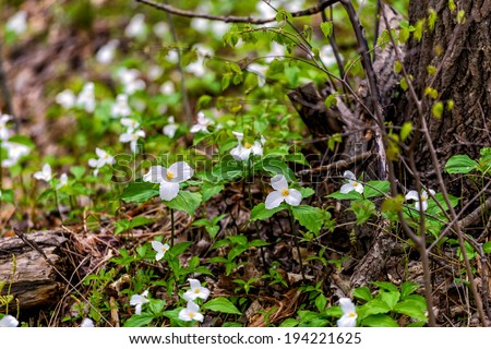 A small grouping of white trilliums blooming at the base of a tree.  Trillium grandiflorum is the official emblem of the Province of Ontario and the State Wildflower of Ohio.  - stock photo