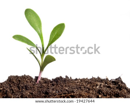 A small growing plant coming from the dirt over a white background