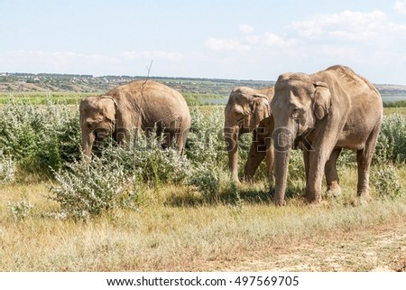 A small herd of adult elephants grazing on the field. Elephants taking a mud bath, sprinkle yourself dry land during the drought