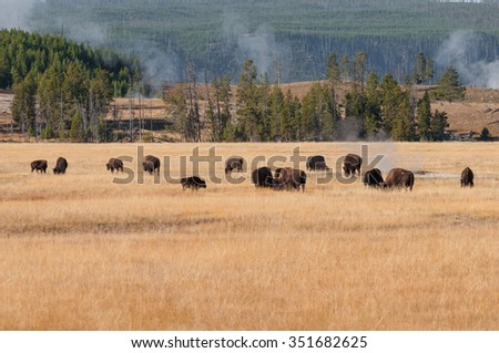 A small herd of bison in a Yellowstone National park meadow. - stock photo