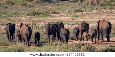 A small herd of Elephants in Kruger National Park - stock photo