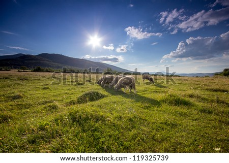 A small herd of sheep in the pasture - stock photo