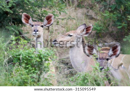 A small herd of wild Kudu antelope eating leaves during spring in the Kruger National Park, South Africa - stock photo