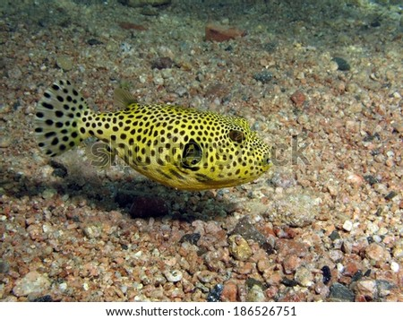 A small juvenile giant puffer fish over sand - stock photo