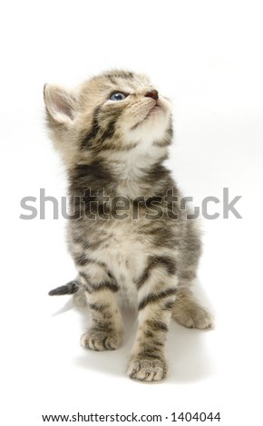 A small kitten looks up while standing on a white background. This kitten is being raised on a farm in central Illinois - stock photo