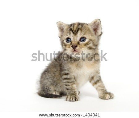 A small kitten on a white background. These kittens are being raised on a farm in central Illinois