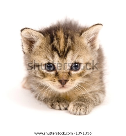A small kitten takes time to lay down on a white background. This kitten is one of several being raised on a farm in Central Illinois - stock photo