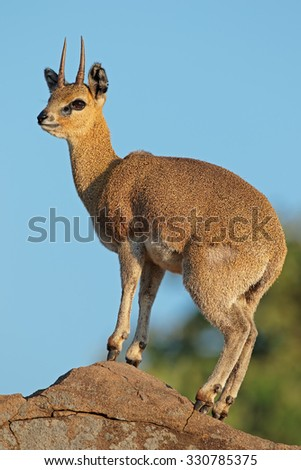 A small klipspringer antelope (Oreotragus oreotragus) on a rock, Kruger National Park, South Africa  - stock photo