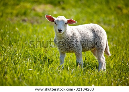 A small lamb in a pasture of sheep looking curious at the camera - stock photo