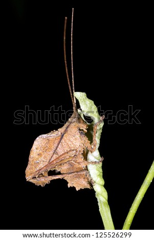 A small leaf mimic katydid on a branch in the rainforest understory, Ecuador - stock photo