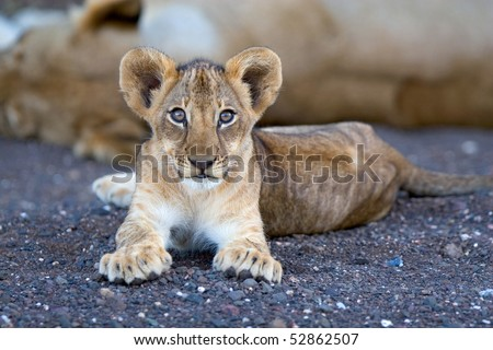 A small lion cub lying in a dry riverbed in botswana