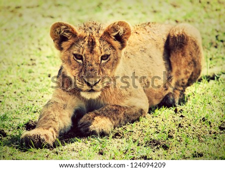 A small lion cub portrait on savannah. Ngorongoro crater in Tanzania, Africa.