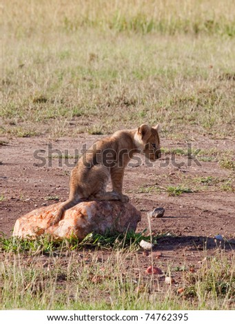 A small lion cub sitting on a rock, probably pondering some mischief - stock photo