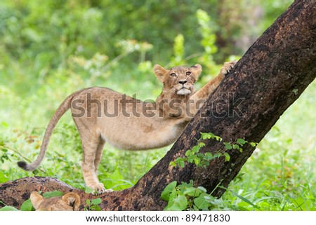 A small lion cub stretching against a tree trunk - stock photo