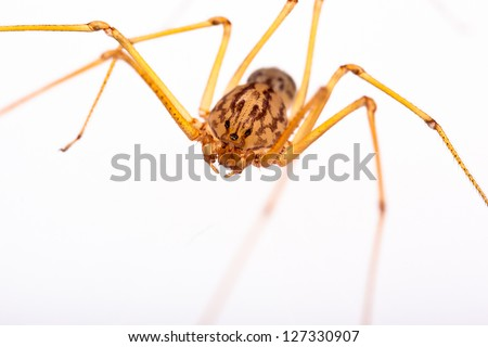 A small long-legged spider over a white background. Supermacro