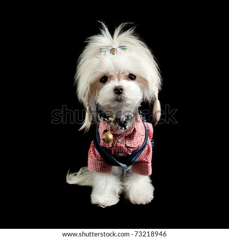 a small maltese terrier dressed up like a hill billy cowgirl with plaited pigtails - stock photo