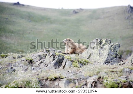 A small marmot in the meadow. - stock photo