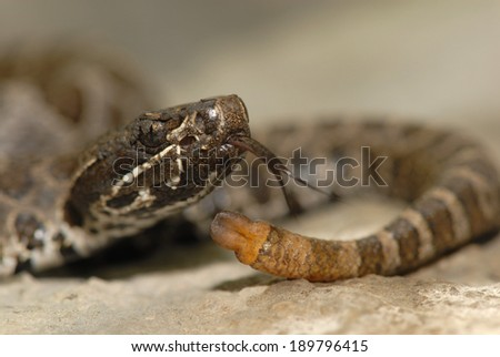 A small massasauga rattlesnake with only one button on it's tail. - stock photo