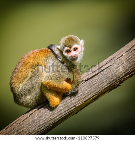 A small monkey sitting on a tree branch - stock photo